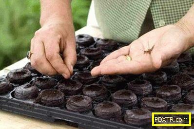 Кога да засаждате разсад от броколи? методи за засаждане и