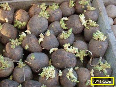Засаждане на картофи с клубени в задния двор. изборът на