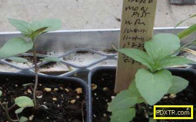 Как да засадим монада със семена (снимка): времето на