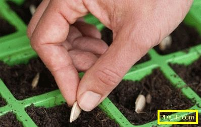 Засаждане на тиквички на сайта: трябва ли да отглеждате