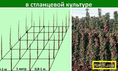 Как да засадим колонообразно ябълково дърво: времето на