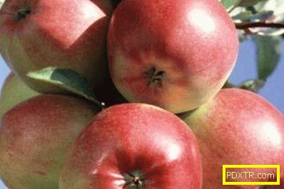 Отглеждане на ябълкови дървета в суров климат: кои сортове