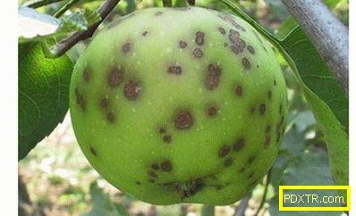 Най-често срещаните заболявания на ябълковите дървета: с