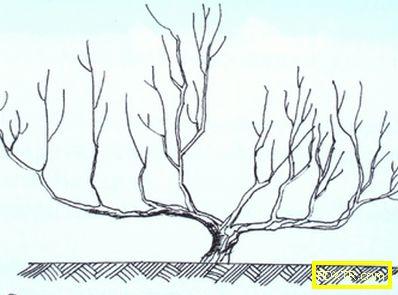 Ябълковото дърво не дава плод, каква е причината? какво да