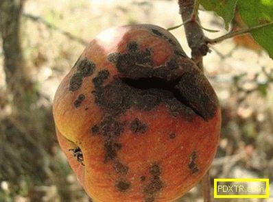 Как да се справяме с клечката на ябълковото дърво, каква