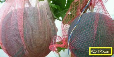 Как да отглеждаме диня в оранжерия в страната. как да
