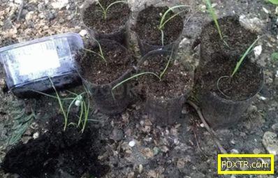 Pampas трева: отглеждане в различни климатични зони. тънка