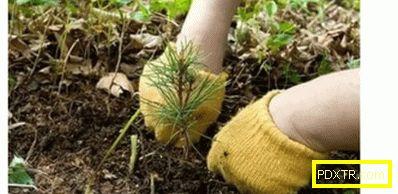 Как да се развива сибирски кедър от семена: стъпка по