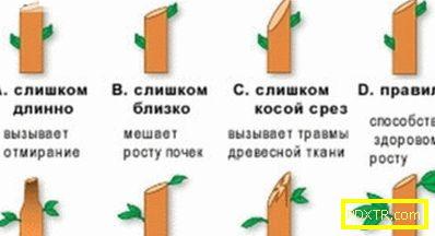 Как правилно да отрежете круша и кога е по-добре да я
