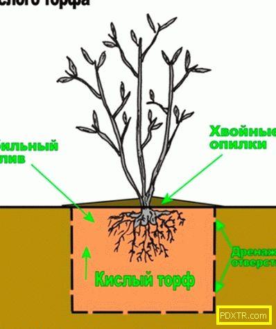 Засаждане на боровинка градина: кога и как. подготовка на