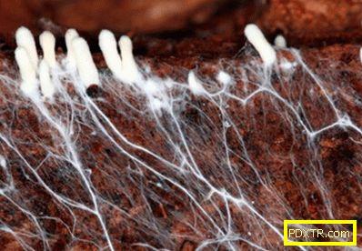 Култивирането на мицел от годни за консумация гъби -