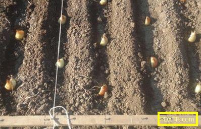 Bow - засаждане и грижи на открито. методи за засаждане лук
