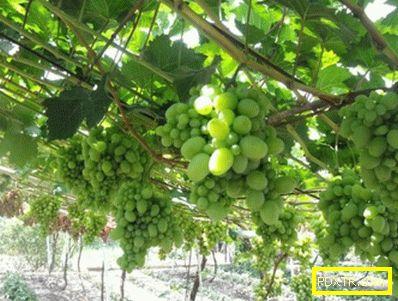 Разнообразие от грозде талисман - снимки, характеристики,