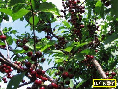 Cherry сорт валери чалков: характеристики, особености на