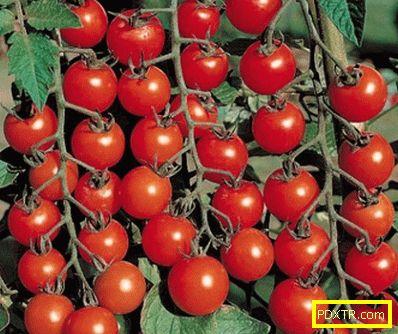 Най-добрите сортове домати за оранжерия от поликарбонат са