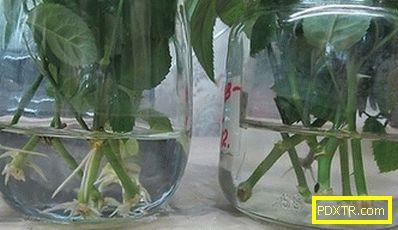 Възпроизвеждане на вътрешни рози у дома: инструкции за