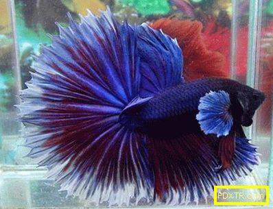Кок-риби: грижи и поддръжка в домашен аквариум. как да се