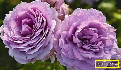 Roses cordes: 10 най-добри сорта. описание, характеристики,