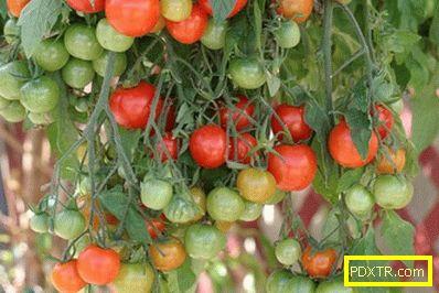 Избор на ниски сортове домати за открито място: снимка,