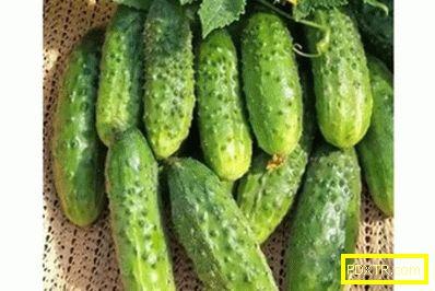 Топ-10 най-продуктивни сортове краставици за открита и