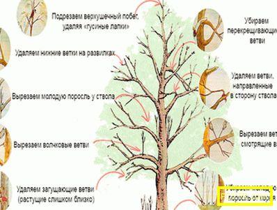 Характеристики на сорта ябълково дърво