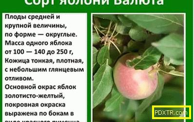 Какви видове ябълкови дървета са подходящи за урал: снимка,