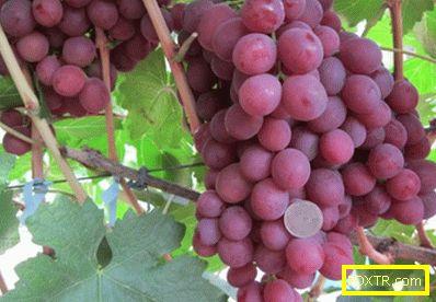 Високопроизводително грозде