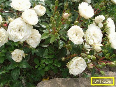 Най-добрите сортове рози във вашия регион. избираме