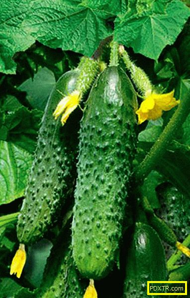 Най-добрите видове краставици за оранжерии са класификация.