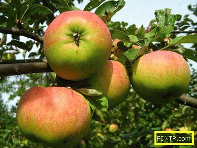 Най-добрите сортове ябълки в кратък преглед. основни