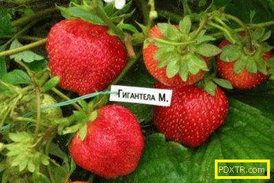 Най-добрите сортове ягоди за страната парцел. преглед на