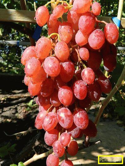 Най-добрите видове грозде са десерт и мускат. преглед на