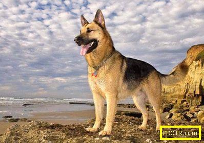 Топ-10 най-мощни кучета. какви породи са в списъка на