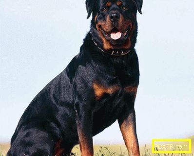 Внимание, топ 10 са най-опасните кучета. какви породи кучета